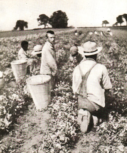 Picking Peas, 1918 Trustees Report